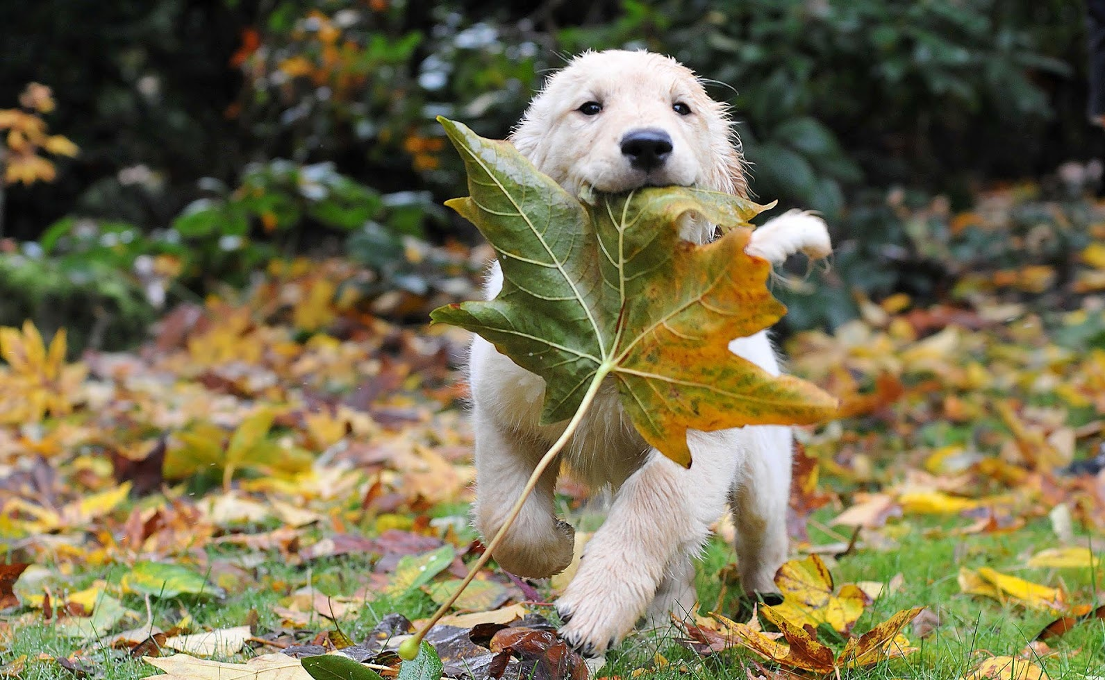 autumn-wallpaper-with-golden-retriever-and-leaves-barbaradashwallpapers.com_.jpg