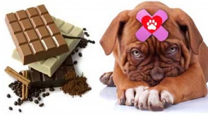 Chocolade en je hond, geen goede combinatie