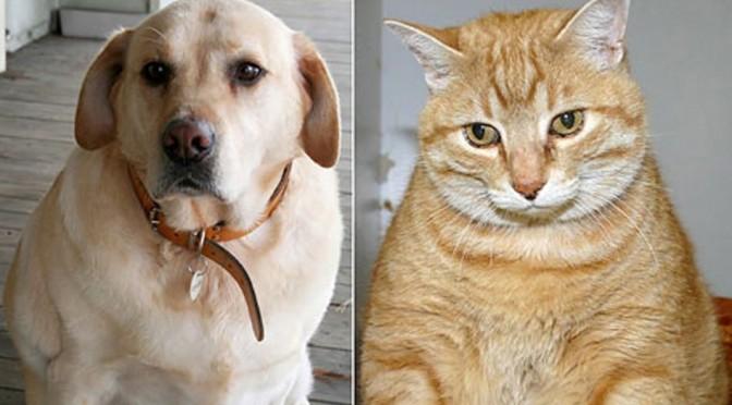 Gevolgen van overgewicht bij hond en kat