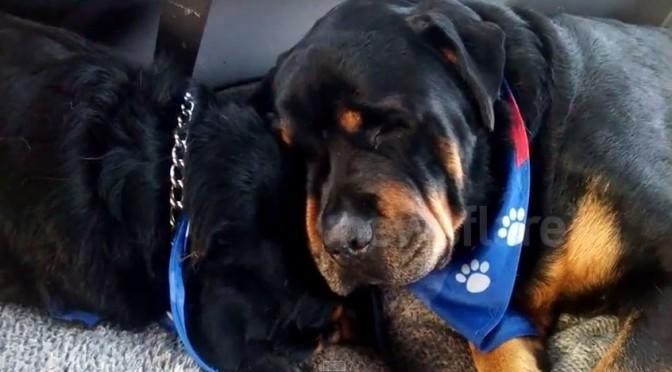 Hartverscheurend: Rottweiler wil dode broer niet laten gaan