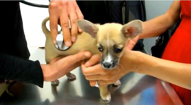 Puppy maakt kennis met de dierenarts