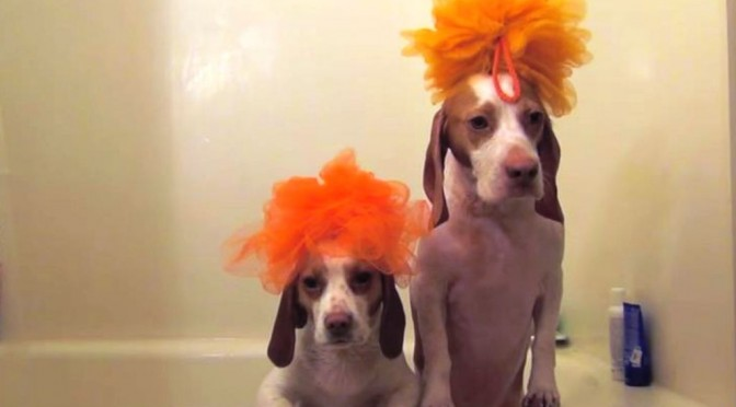 2 Beagles laten zien hoe je de badsessie doet