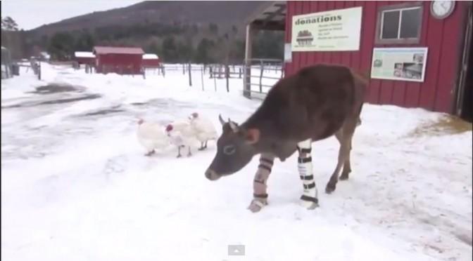 Koe zet eerste stapjes op prothesen