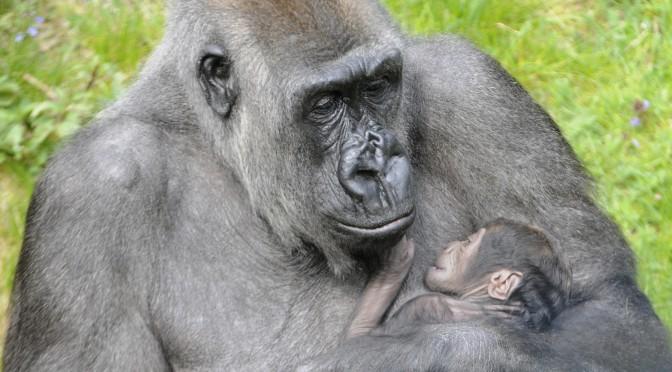 Nieuwe zoon gorilla Bokito: oude mobieltjes als kraamcadeau