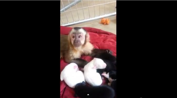 Lief aapje verzorgt puppies