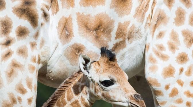 Maand oud girafje gered van verdrinking