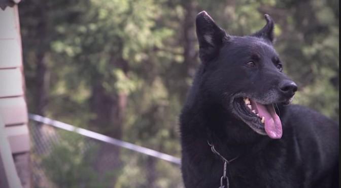 Medaille voor hond die gewond baasje beschermde